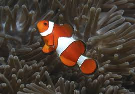 finding nemo may become even harder says climate study inquirer