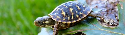 ornate box turtle for sale baby ornate florida box turtles for