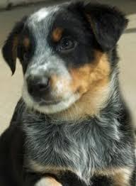australian shepherd joliet adopt sawyer on eyes australian shepherd and australian
