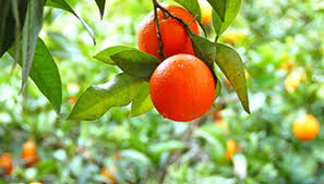 ornamental orange tree garden guides