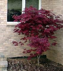 japanese maple burgundy lace garden plant evergreen trees
