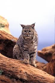Utah wildlife images Bobcat population growing more chances to hunt st george news jpg