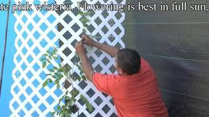 plant blue wisteria vines correctly u003dbest fragrant flowers youtube