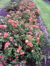 drift roses drift selected as louisiana plant lsu agcenter