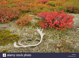 tundra native plants tundra plants with autumn colour and fallen caribou antler
