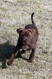 american pit bull terrier brindle 190 best puppies someday images on pinterest doggies pit bulls