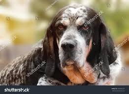 bluetick coonhound mix sale old retired hunting dog bluetick stock photo 192929357