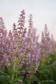 stop u0026 smell the sage a look into nc clary sage industry u2013 rural ris