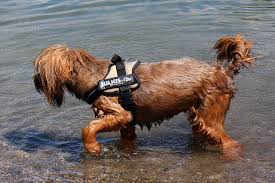 affenpinscher swimming 5 tips to teach your dog to love swimming u2013 iheartdogs com
