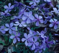 sweet william flowers phlox divaricata sweet william from critsite products