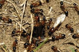 ants go marching one by one in byron shire u2013 echonetdaily