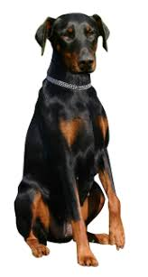 doberman pinscher cards birthday thank you holidays more