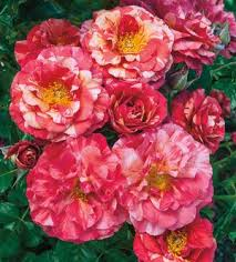 bare root roses 1 000 bare root roses available regan nursery