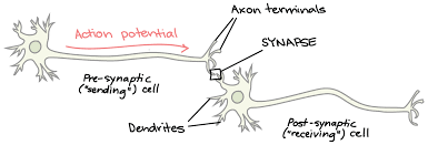In Which Would You Expect The Best Transmission Of Light The Synapse Article Human Biology Khan Academy