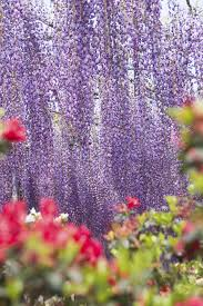 tochigi ashikaga flower park the wisteria festival 2017 good