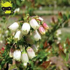 compare prices on ornamental bush shopping buy low price