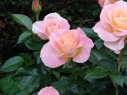 cancelled june 9th rose garden picnic fenway civic association