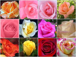 different color roses roses language ace of well being