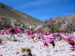 anza borrego desert flowers desert wildflowers and the amazing caves of inner pasture anza