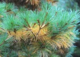 why are my pine tree needles turning yellow whitehouse landscaping