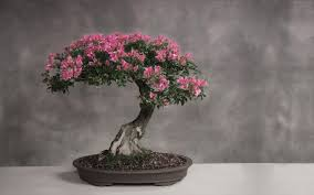 cherry blossom bonsai trees