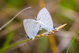 small light blue butterfly cupido amyntula bugguide