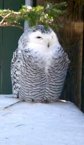 104 best snowy owls images on pinterest snowy owl owls and safari
