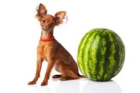 australian shepherd dogs 101 watermelons for dogs 101 can dogs eat watermelons