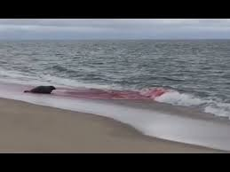Blue Water On The Ocean Cape Cod - great white shark seal attack in cape cod caught on camera youtube