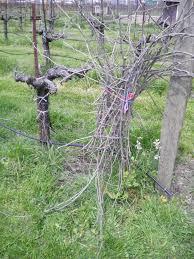 spring at bunter spring pruning bunter spring winery