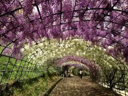 japan flower tunnel surreal wisteria flower tunnel in japan world of flowering plants
