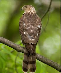 Alabama wildlife images Hawks alabama wildlife damage management jpg