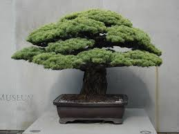 a bonsai tree from hiroshima mynorth community