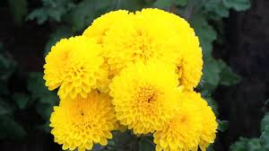 chamomile indian yellow flowers 15 for one plant chamanthi rare