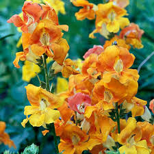 snapdragon flowers snapdragon