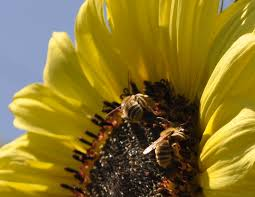 native plant definition why are bees vanishing science news for students