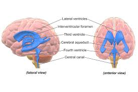 The Anatomy Of The Human Brain Ventricular System Of The Brain