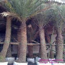 date palm trees in kolkata west bengal manufacturers
