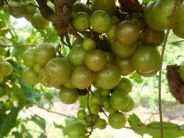 pineapple muscadine ison u0027s nursery u0026 vineyard