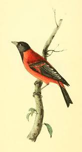 51 best william swainson images on pinterest bird prints
