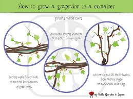 Grape Trellis For Sale My Little Garden In Japan How To Grow A Grape Vine In A Container