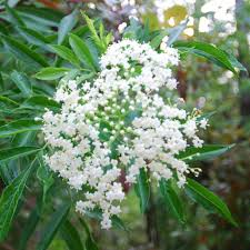 Florida Native Plants Pictures Landscaping With Florida Native Plants Blog Archive Elderberry