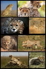 best 25 asiatic cheetah ideas on pinterest cheetah baby