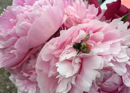Peonies Flower Make The Most Of This Exceptional Summer For Alaska Flowers