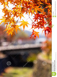 the beautiful autumn color of japan maple leaves on tree yellow