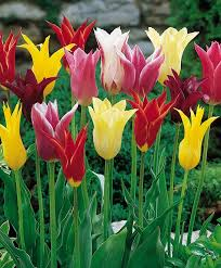 the lily flowering tulip mixture flower bulb index