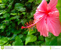 close up of hibiscus flower in big island hawaii royalty free
