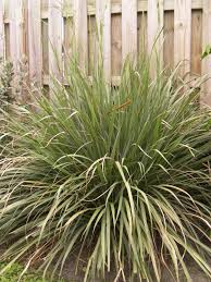 native florida plants the budget gardener fakahatchee grass no south florida