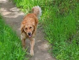 What Causes Dogs To Go Blind Blindness In Dogs Causes And Symptoms