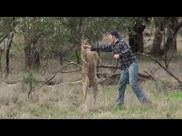 Kangaroo Meme - kangaroo punch video know your meme